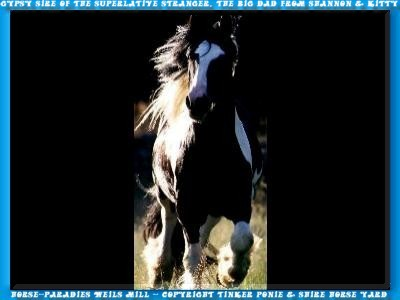 Under the Gypsys Cobs it could give only a king, since 1994 the Gypsy Cob - irish Tinker stallion of the superlatives STRAINGER.