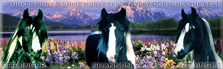Gypsy Cob - Tinker superior stallion SHANNON, April 15th of 2004, Your search a Gypsy Cob? - WE offered only the best worldwide!